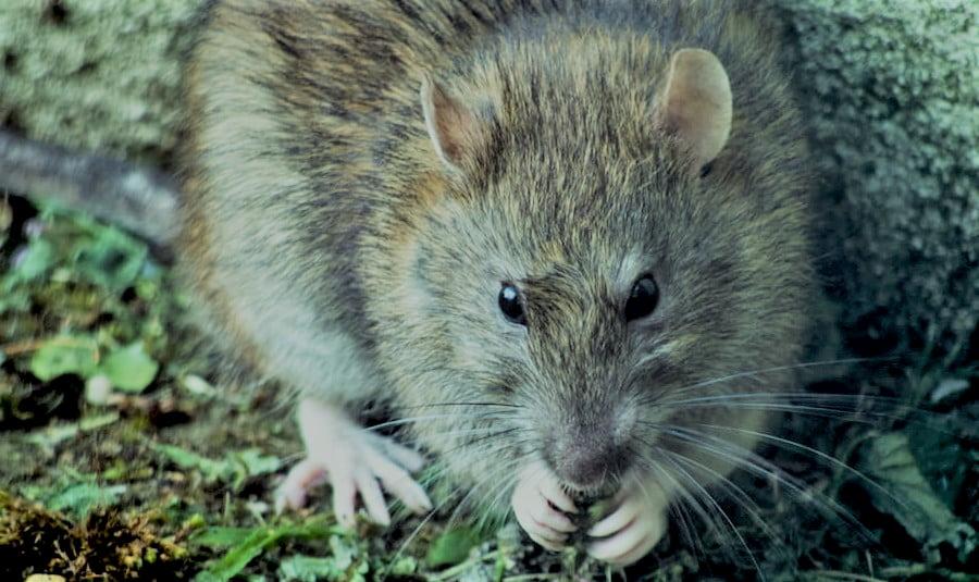 Como superar el miedo a las ratas