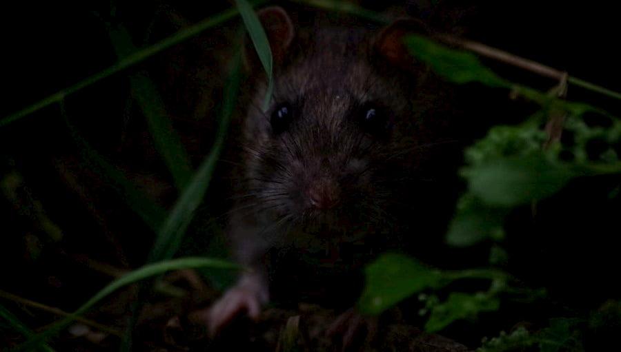 superar el miedo a las ratas
